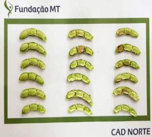 Ocorrência do apodrecimento de vagens - Posicionamento Técnico da Fundação MT