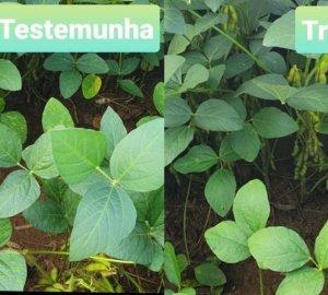 Aumento de Mancha alvo em soja sob palhada de milho queimada e a ação dos fungicidas no controle da doença