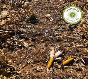Avaliações de perdas na colheita do milho segunda safra na região Sul do Mato Grosso.