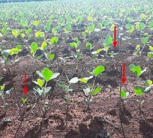Qual o impacto na uniformidade de profundidade de semeadura da soja e a utilização de sementes com altíssimo vigor no desenvolvimento e na produtividade da soja?